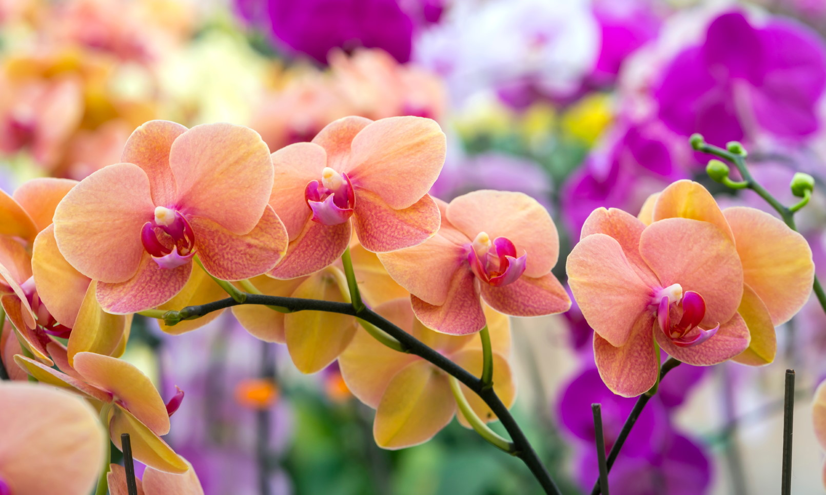 How Often Do Orchids Bloom Can I Make It Happen Brilliant Orchids
