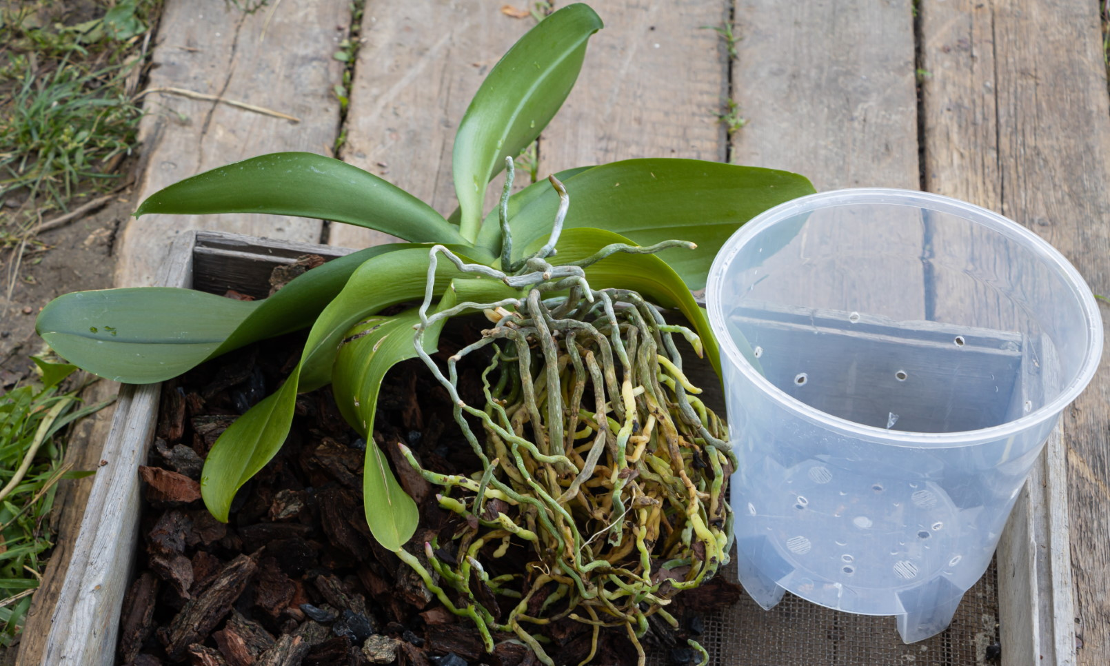 How To Repot An Orchid Step By Step Guide Pictures Brilliant